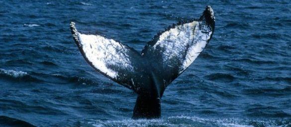 Den smukke hale (taget fra http://www.las-galeras-divers.com)