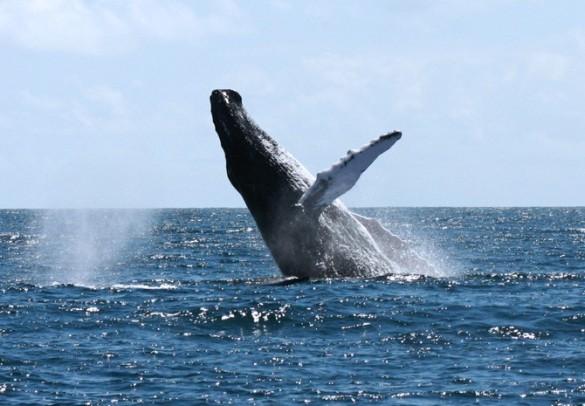 Det er sådan et billede mange drømmer om at få med hjem! (taget fra www.motomarinatours-excursionsamana.com)