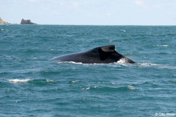 Den brede ryg med den karakteristiske pukkel (billedet er taget fra www.el-bohio.com)