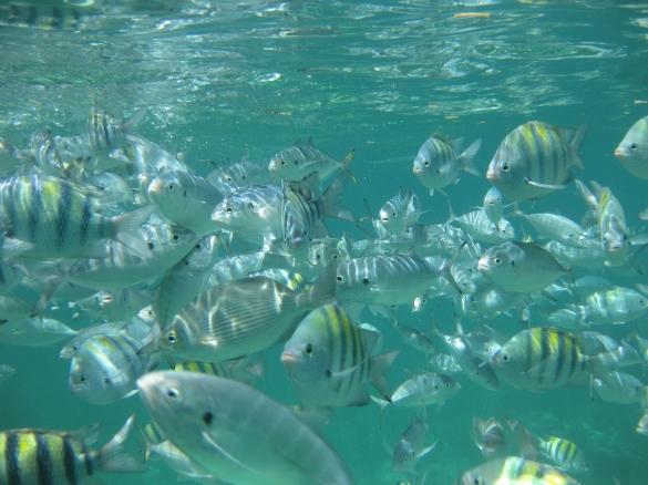Milliarder af små fisk - næsten